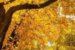 schöne gelbe Ahornniederlassung im Herbst saisonal in Japan Lizenzfreies Stockfoto