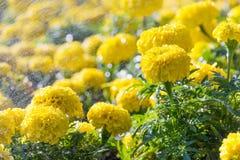 Schöne gelbe Astern in der Sonne mit Wassertröpfchen Lizenzfreies Stockfoto