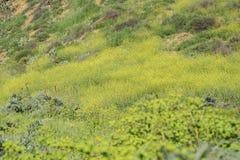 Schöne gelbe Blüte der wilden Blume an regionalem Park Schabarum Stockbild
