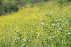 Schöne gelbe Blüte der wilden Blume an regionalem Park Schabarum Stockfoto