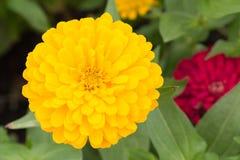 Schöne gelbe Blume Lizenzfreie Stockfotografie