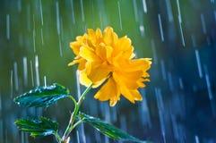 Schöne gelbe Blume auf einem Hintergrund des Regens fällt lizenzfreie stockfotografie