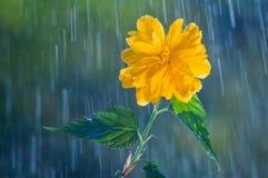 Schöne gelbe Blume auf einem Hintergrund des Regens fällt lizenzfreies stockfoto