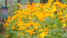 Schöne gelbe Blume der Videounschärfe und blauer Himmel verwischen Landschaft natürliches background1 im Freien stock video