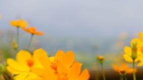 Schöne gelbe Blume der Videounschärfe und blauer Himmel verwischen Landschaft natürliches background2 im Freien stock footage