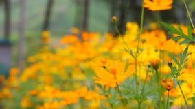 Schöne gelbe Blume der Videounschärfe und blauer Himmel verwischen Landschaftsnatürlichen Hintergrund im Freien stock video
