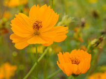 Schöne gelbe Blume des Kosmos oder der mexikanischen Aster (Kosmos sulph Stockbild