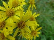 Schöne gelbe Blumen lizenzfreie stockfotografie