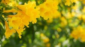 Schöne gelbe Blumen in den Bündeln auf den Niederlassungen eines Busches Natürlicher Blumenhintergrund Frühlingsstimmung, sonnig  stock video footage