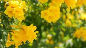 Schöne gelbe Blumen in den Bündeln auf den Niederlassungen eines Busches Natürlicher Blumenhintergrund Frühlingsstimmung, sonnig  stock video