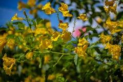 Schöne gelbe Blumen, schöne Goldblume stockbilder