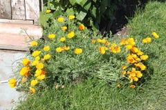 Schöne gelbe Blumen mit grünen Stielen und Gras in einer Datscha arbeiten im Garten Lizenzfreie Stockfotografie