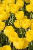 Schöne gelbe Blumen von Tulpen im Frühjahr lizenzfreies stockbild