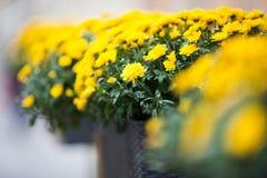 Schöne gelbe Chrysanthemeblumen Stockbilder