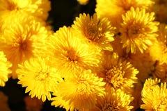Schöne gelbe Chrysanthemen im Garten lizenzfreies stockbild