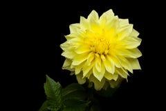 Schöne gelbe Dahlie auf schwarzem Hintergrund stockfotos