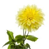 Schöne gelbe Dahlie und Laub lizenzfreie stockbilder