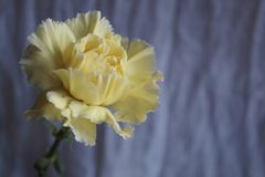 Schöne gelbe Gartennelke stockbilder