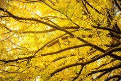 Schöne gelbe Ginkgoniederlassung im Herbst saisonal Stockbild