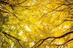 schöne gelbe Ginkgoniederlassung im Herbst saisonal bei Japan Lizenzfreies Stockbild