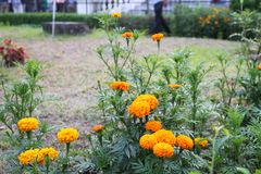 Schöne gelbe große Ringelblume des bangladeschischen Winters blüht im Garten stockfoto