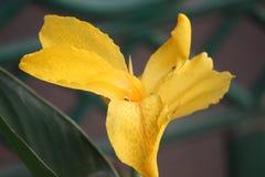 Schöne gelbe Indica Blume Canna, die am Morgen blüht Lizenzfreie Stockfotografie