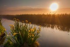 Schöne gelbe Iris blüht in den Strahlen der Dämmerungssonne Stockbild