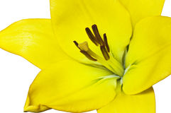 Schöne gelbe Lilie Lizenzfreie Stockfotos