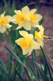 Schöne gelbe Narzissen Stockfotos