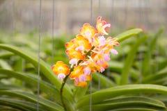 Schöne gelbe Orchidee Lizenzfreies Stockfoto