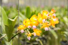 Schöne gelbe Orchidee Stockfotos