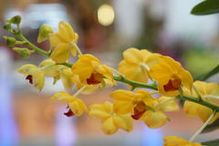 Schöne gelbe Orchidee Stockfoto