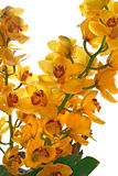 Schöne gelbe Orchideen lokalisiert auf Weiß Stockfotos