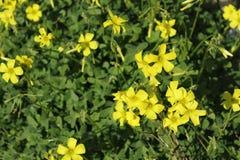 Schöne gelbe Oxalis-Pes-capraeblumen im Frühjahr stockbilder
