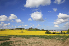 Schöne gelbe Rapssamen-Felder Stockfotografie