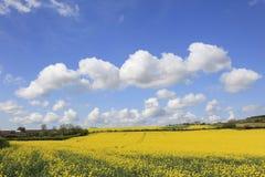 Schöne gelbe Rapssamen-Felder Stockbild