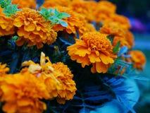 Schöne gelbe Ringelblumenblumen lizenzfreies stockfoto