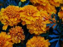 Schöne gelbe Ringelblumenblumen lizenzfreies stockbild