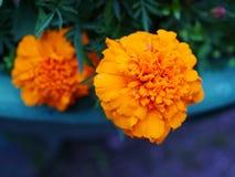 Schöne gelbe Ringelblumenblumen stockfoto