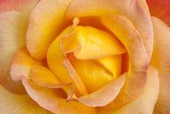 Schöne gelbe rosafarbene Blumenblätter Lizenzfreies Stockfoto