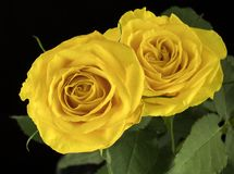 Schöne gelbe Rosen Stockfoto