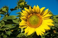 Schöne gelbe Sonnenblume der Nahaufnahme gegen blauen Himmel Lizenzfreie Stockfotos