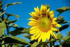 Schöne gelbe Sonnenblume der Nahaufnahme gegen blauen Himmel Stockbilder