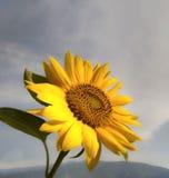 Schöne gelbe Sonnenblume und bewölkter Himmel lizenzfreies stockfoto