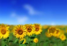 Schöne gelbe Sonnenblumen lizenzfreies stockfoto