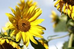 Schöne gelbe Sonnenblumen in einem blauen Himmel Stockbild