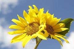 Schöne gelbe Sonnenblumen in einem blauen Himmel Stockfoto