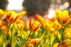 Schöne gelbe Tulpen lizenzfreie stockbilder