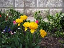 Schöne gelbe Tulpen im Blumengarten stockbilder