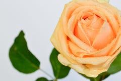 Schöne Gelbrose auf einem weißen Hintergrund Lizenzfreies Stockbild